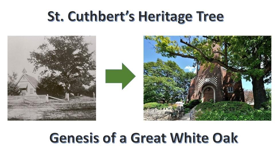 St Cuthbert Heritage Tree